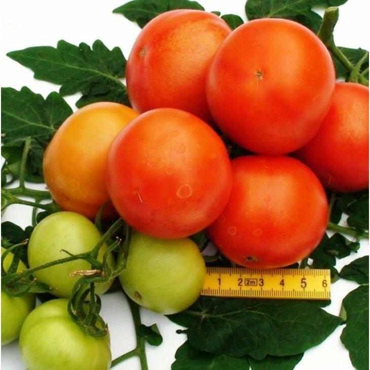 Almindelig tomat Sparta