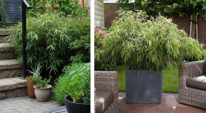 Bambus i haven