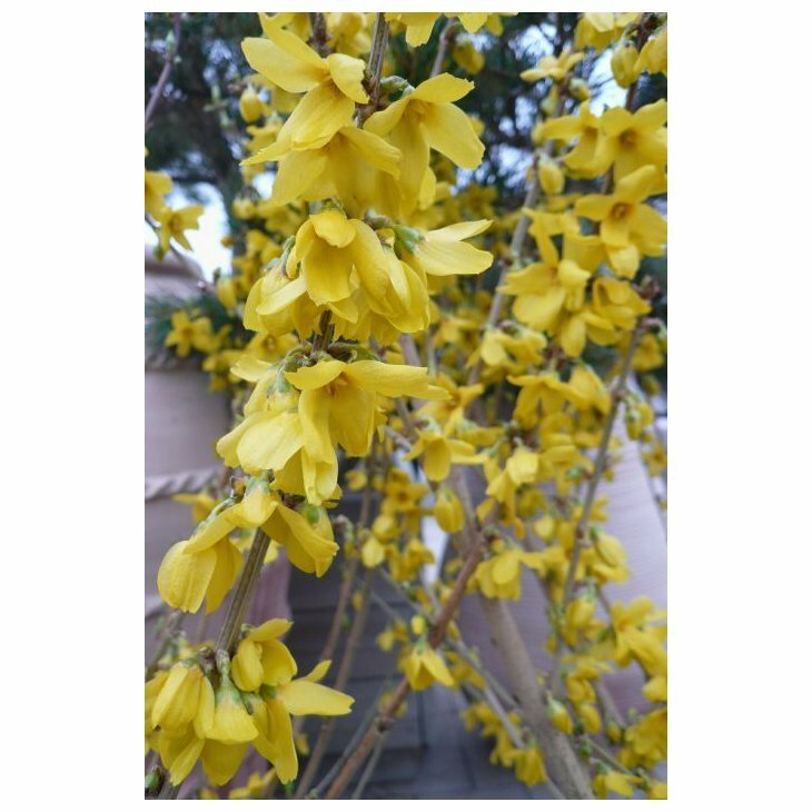 Forsythia - Forsythia int. 'Goldrausch' i 5 l potte