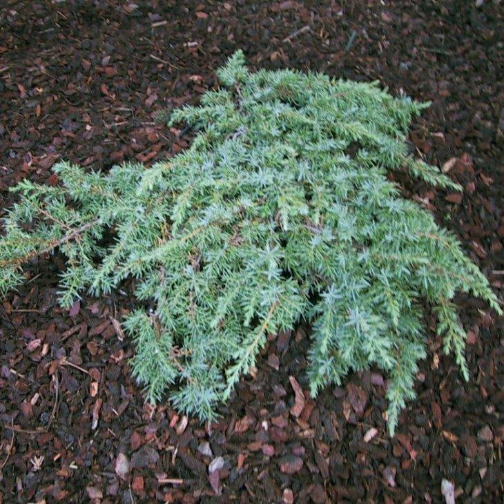 Enebær - Juniperus communis 'Green Carpet' 25-30 cm