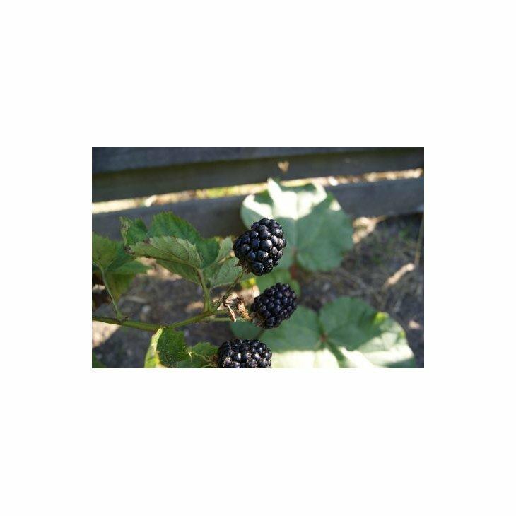 Brombærbusk - Rubus 'Loch Tay' i 3 l potte