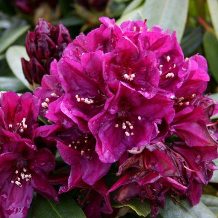 Rhododendron 'Polarnacht' i 5 l potte