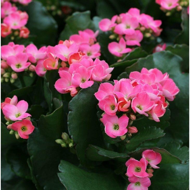 Brændende kærlighed til haven i pink