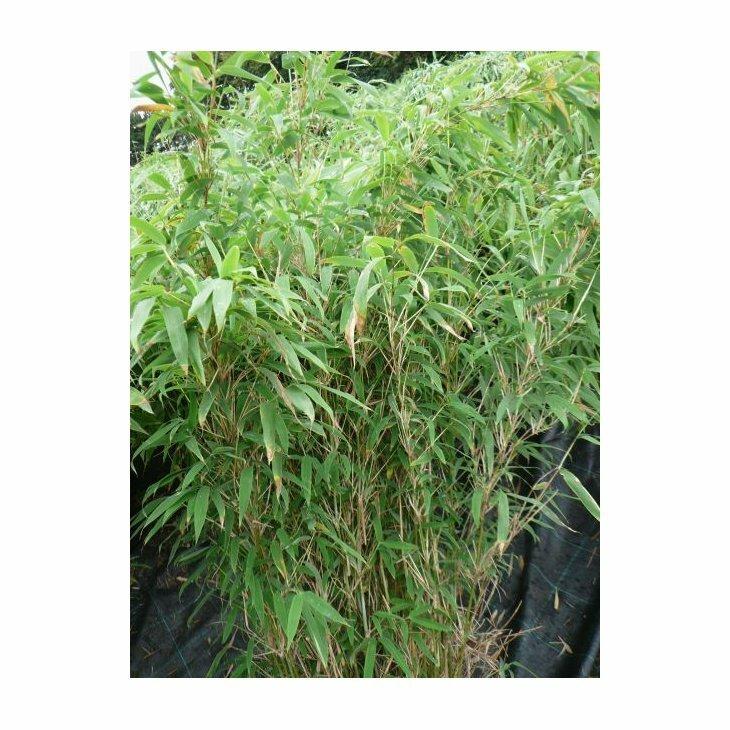Bambus høj - Fargesia murielae 'Jumbo'