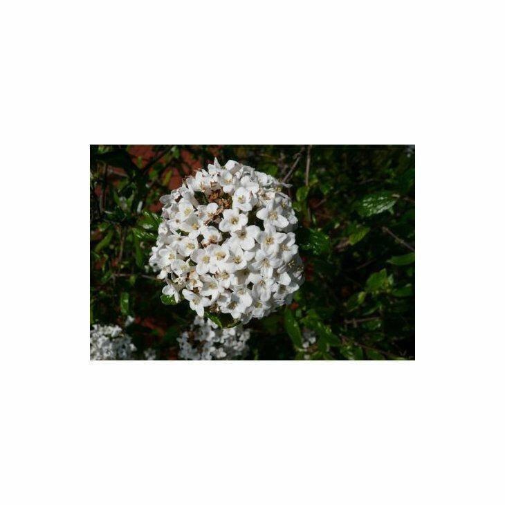 Duftsnebolle - Viburnum x burkwoodii i 5 l potte