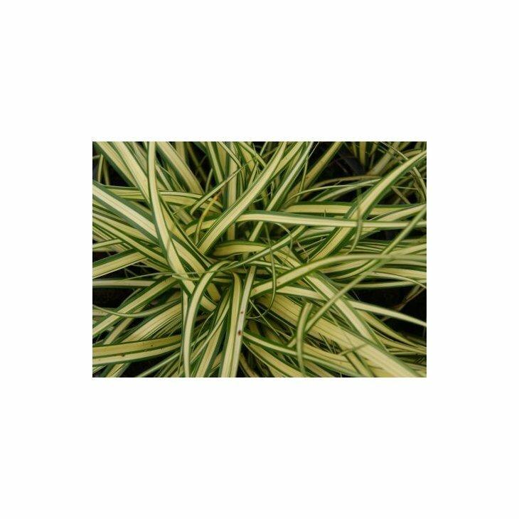 Japansk star - Carex oshimensis (hachijoensis) 'Evergold'