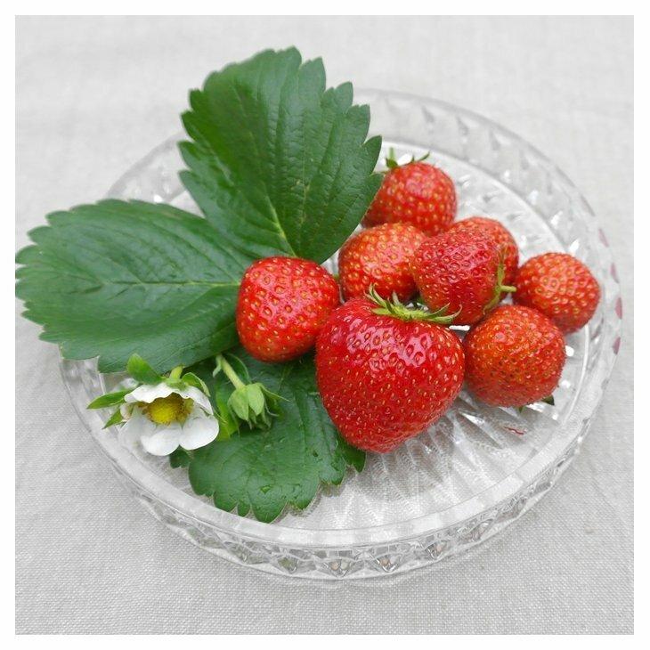 Jordbærplanter - Fragaria 'Senga Sengana' i 9 cm potte