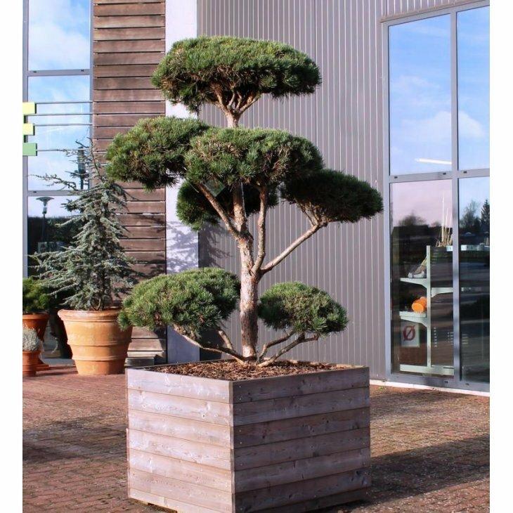 Skovfyr - Pinus sylvestris som bonzai til haven
