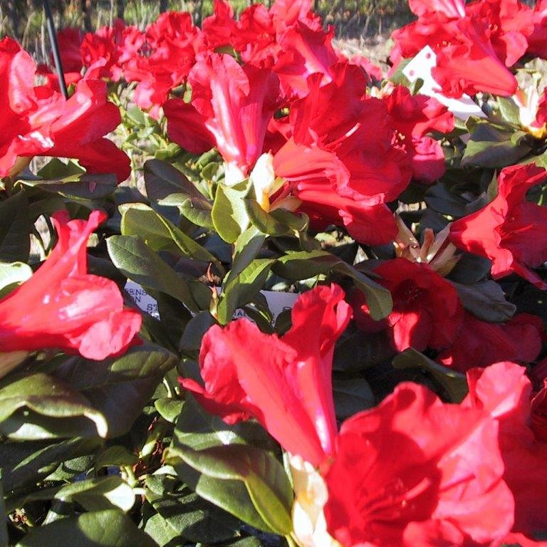 Rhododendron forrestii 'Baden Baden'