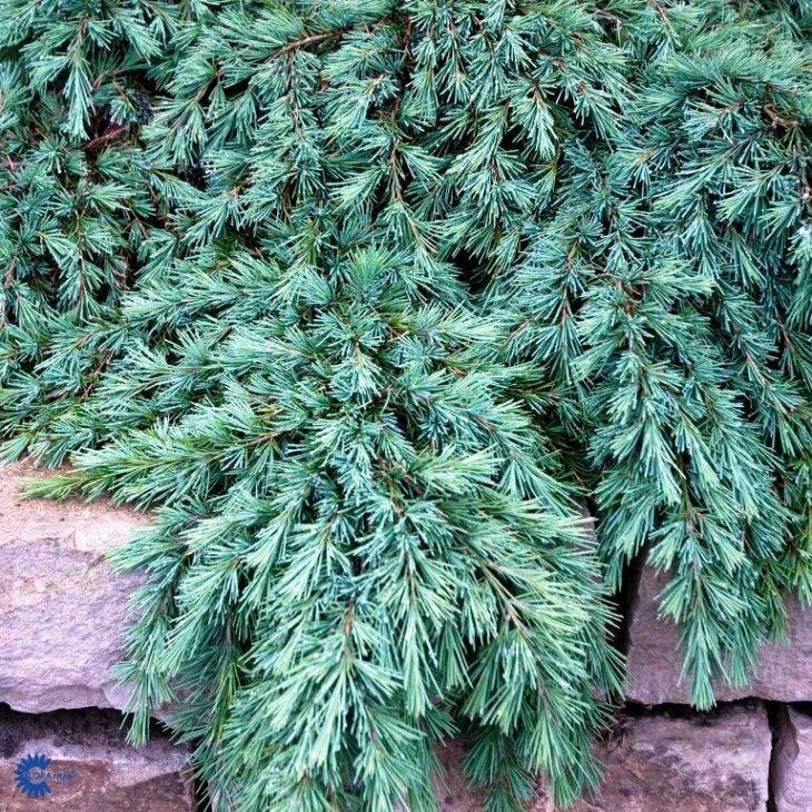 Himalayaceder - Cedrus deodara 'Feeling Blue' på 40 cm stamme