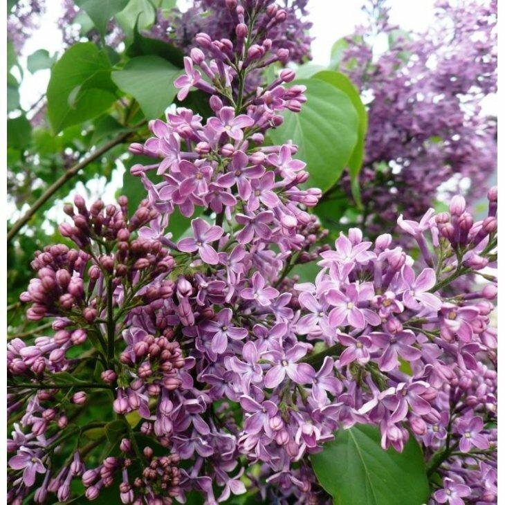 Syrenhæk - Syringa vulgaris 50-80 cm