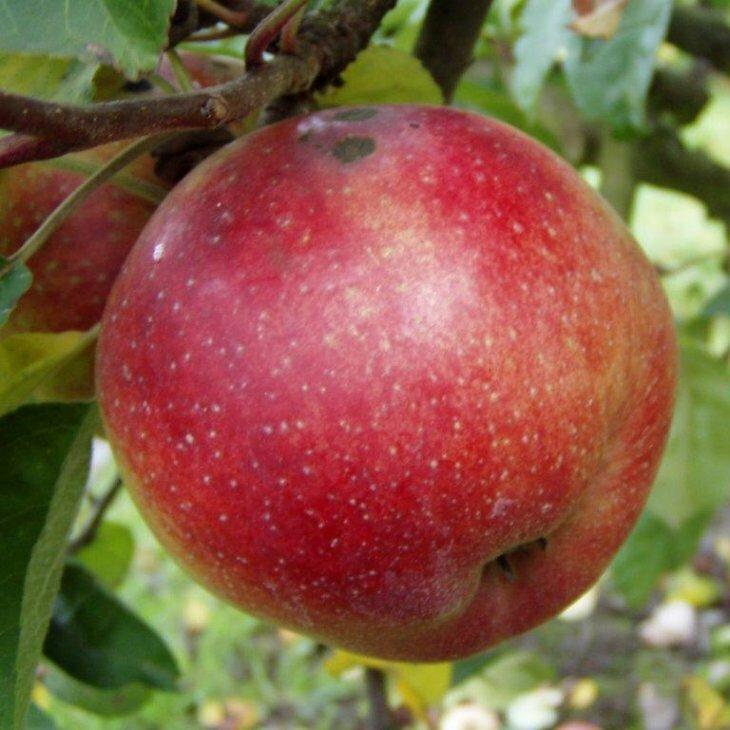 Æbletræ Lobo