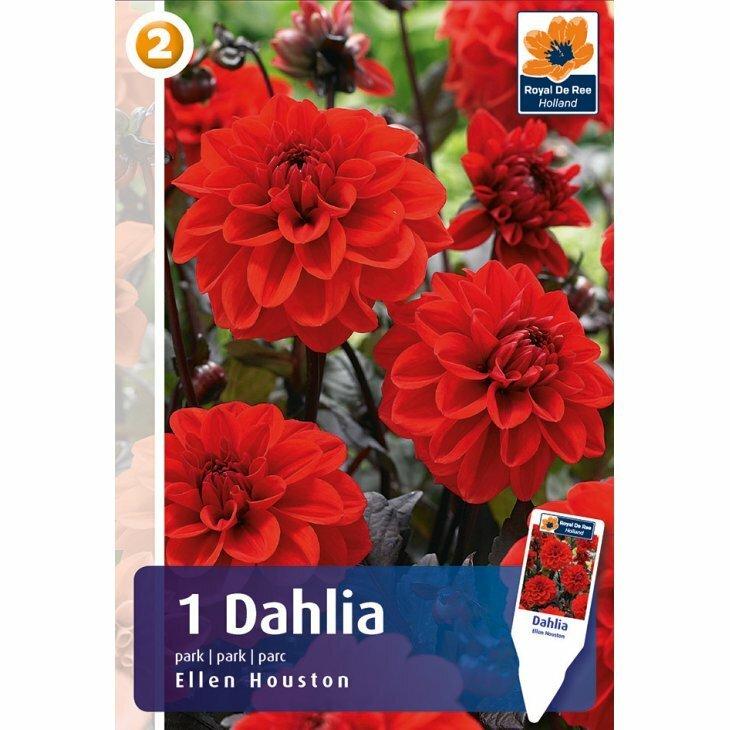 DAHLIA ELLEN HOUSTON PRK. (Blomsterløg)