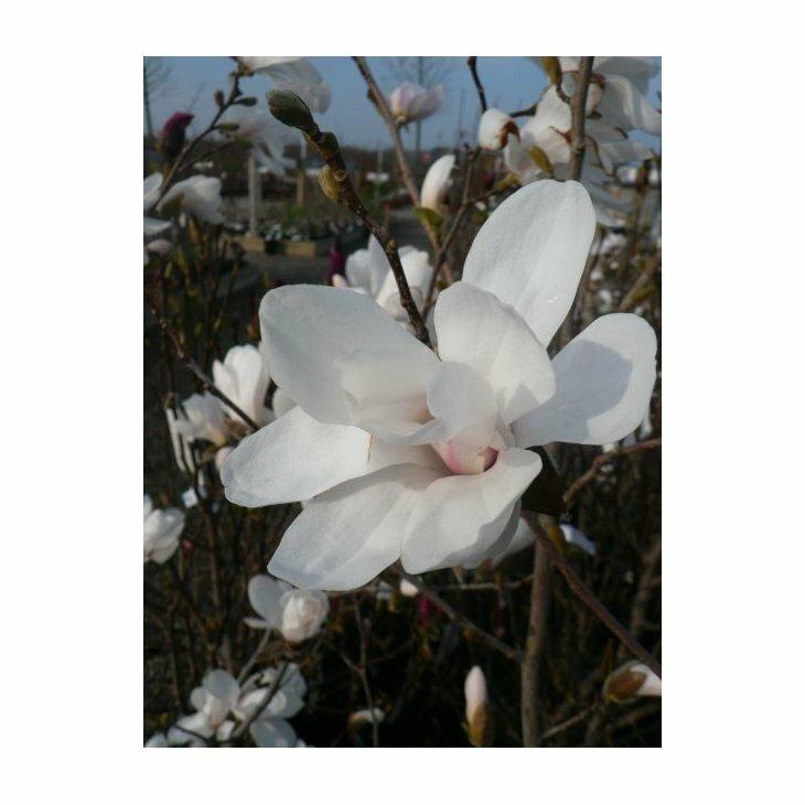 Stjernemagnolia - Magnolia loe. 'Merrill'' i 6 l potte 60-80 cm