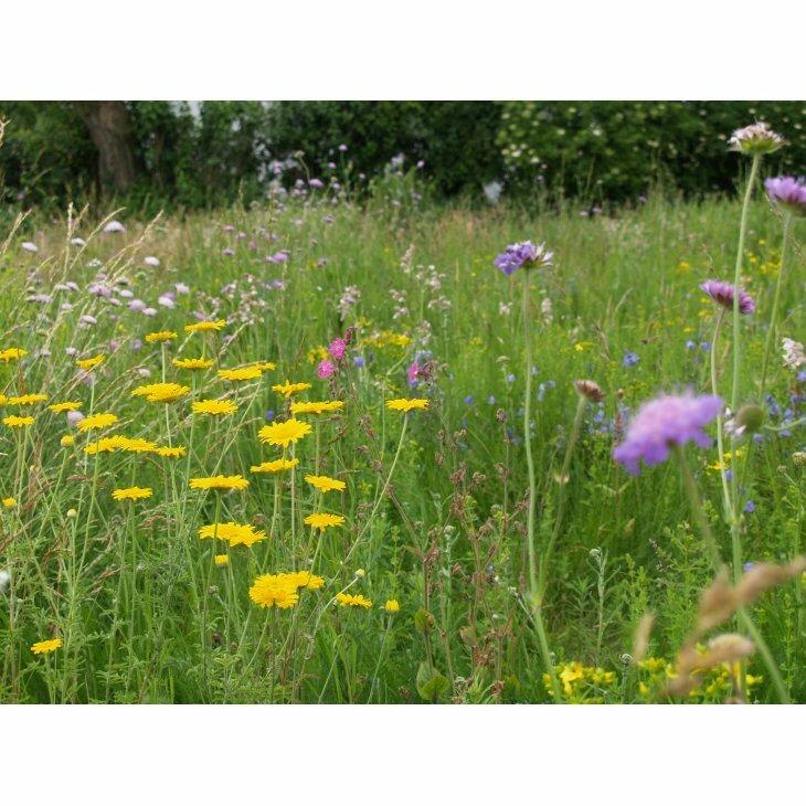 Bivenlig blomsterblanding: Dansk vildeng til sandjord, til 20 m2