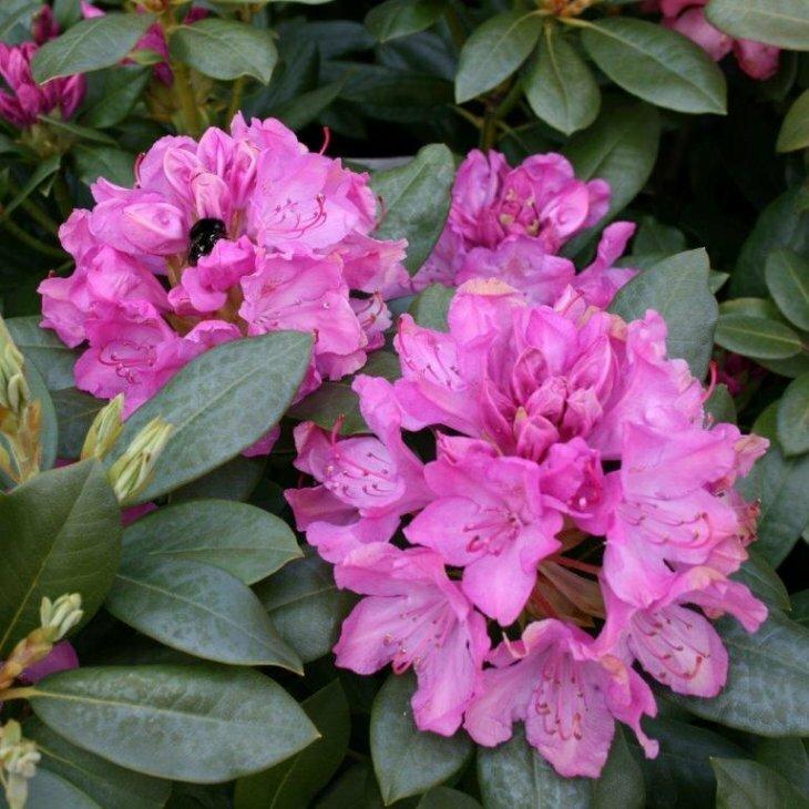 Rhododendron cat. 'Roseum Elegans'