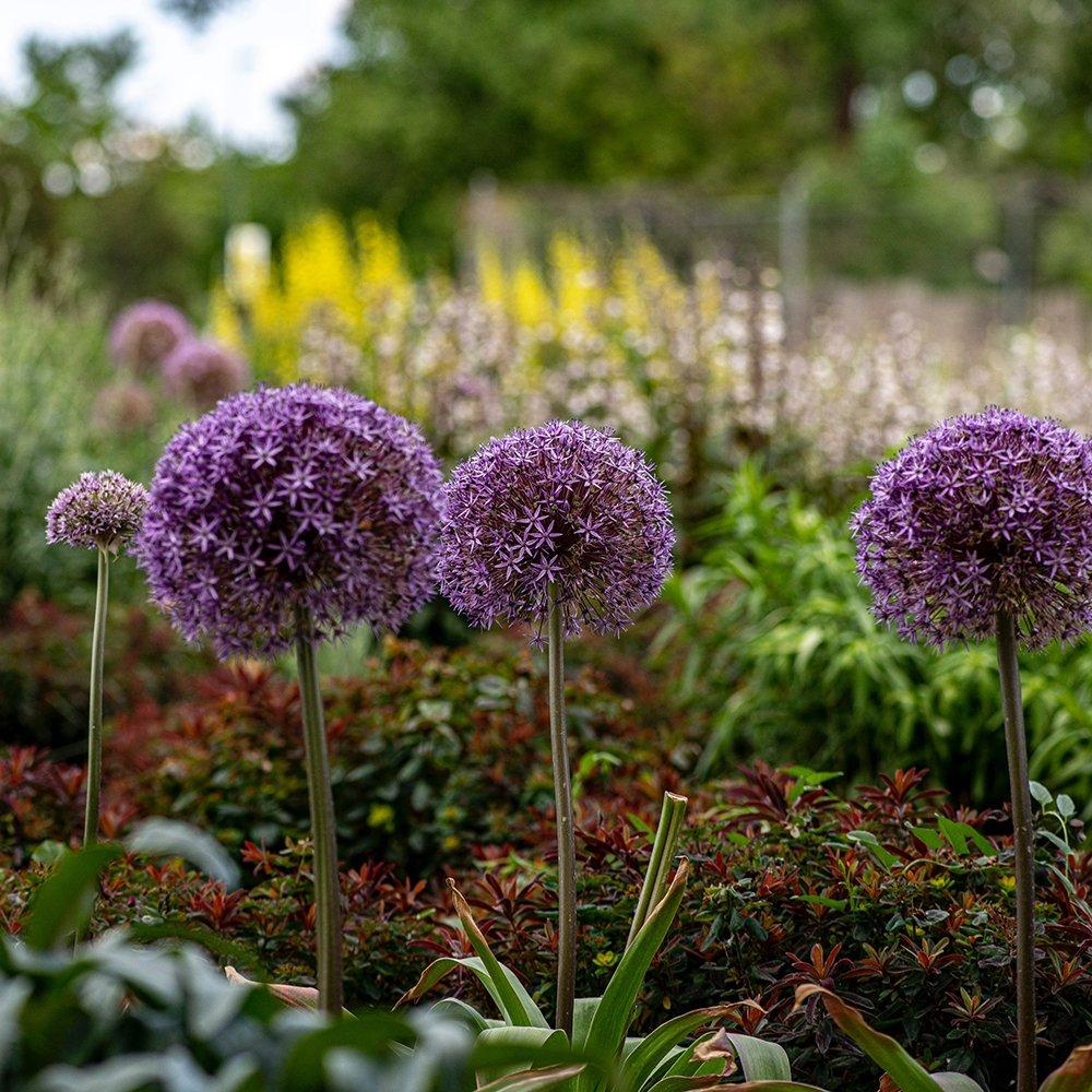 Purløg - Allium schoenoprasum