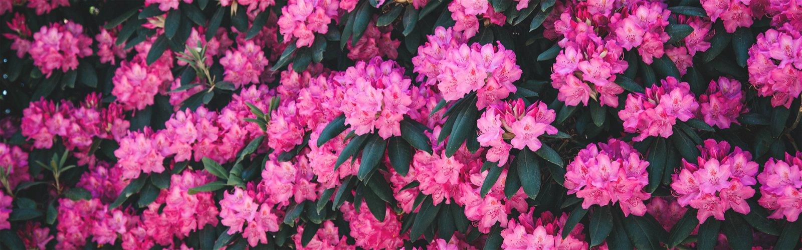 Rhododendronbusk