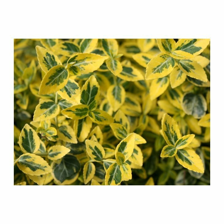 Krybende Benved på stamme - Euonymus fortunei 'Emerald Gold'