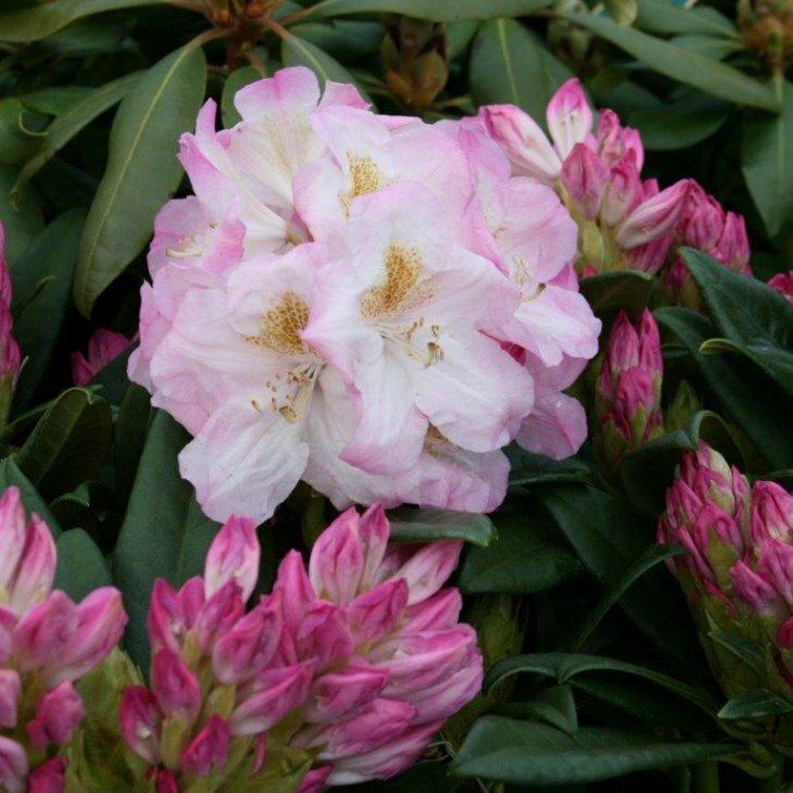 Rhododendron hybrid 'Brigitte Insigne'