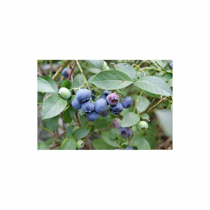 Blåbærbusk storfrugtet - Vaccinium c. 'Blue Crop' i 5 l potte
