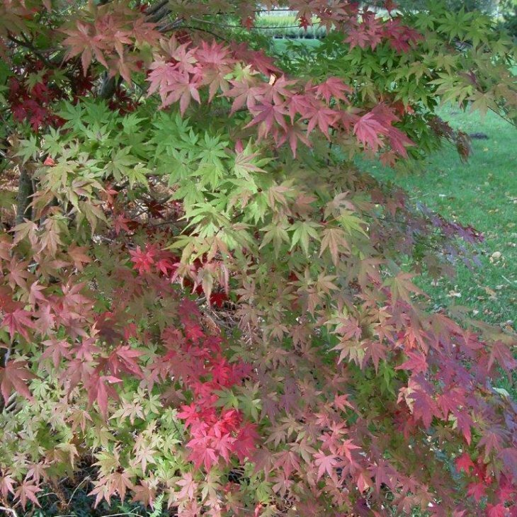 Japansk løn - Acer palmatum 'Atropurpureum' 80-100 cm