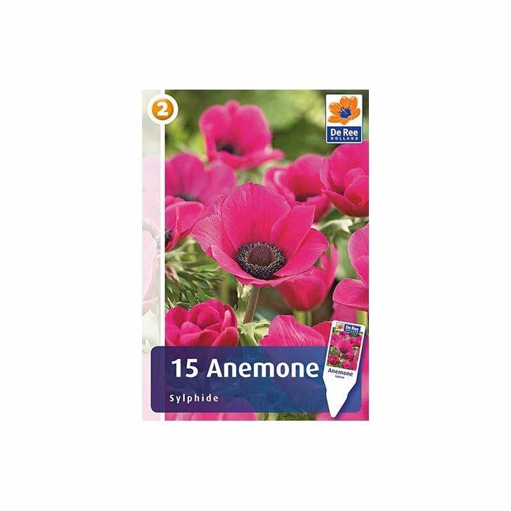 ANEMONE SYLPHIDE - Franske anemoner