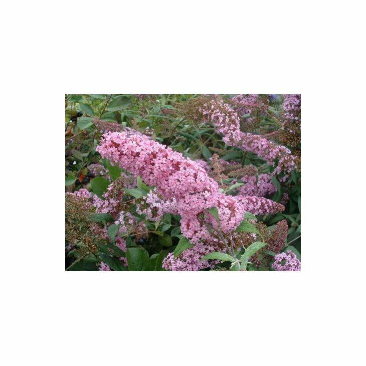 Sommerfuglebusk - Buddleia davidii 'Pink Delight' i 5 L potte