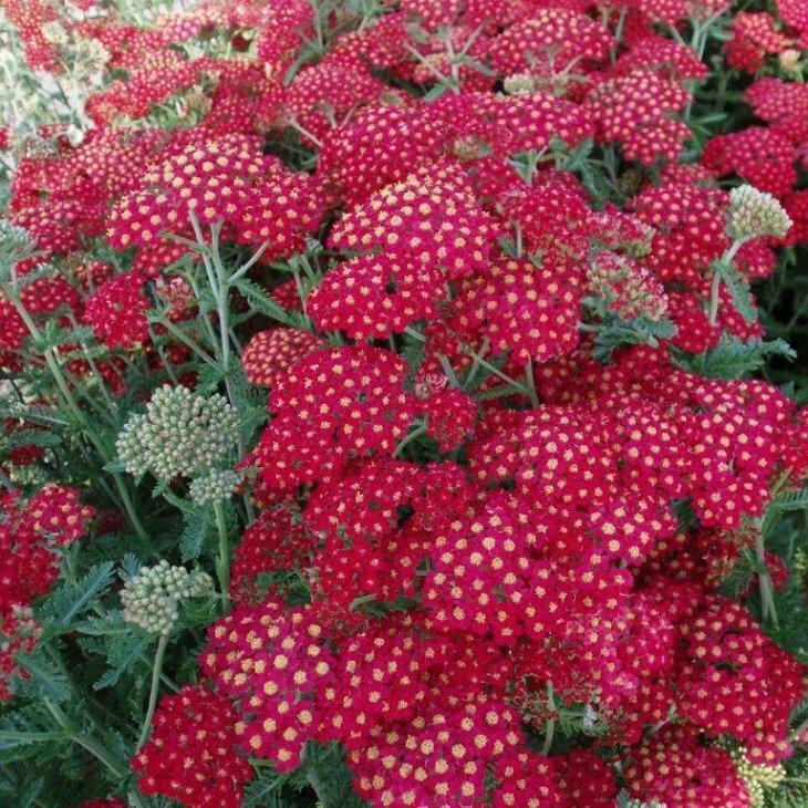 Almindelig røllike - Achillea millefolium 'Paprika' i 1 l potte