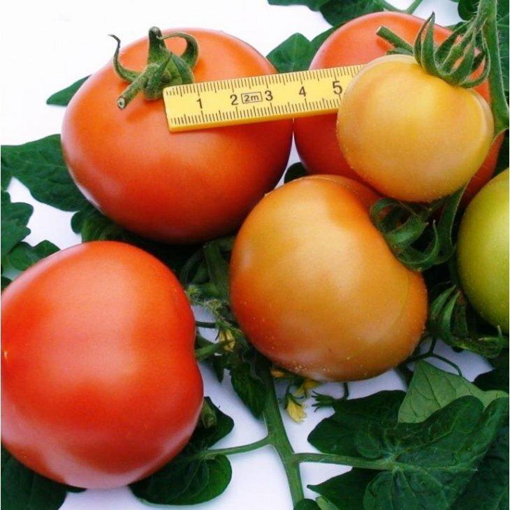 Almindelig tomat Rougella