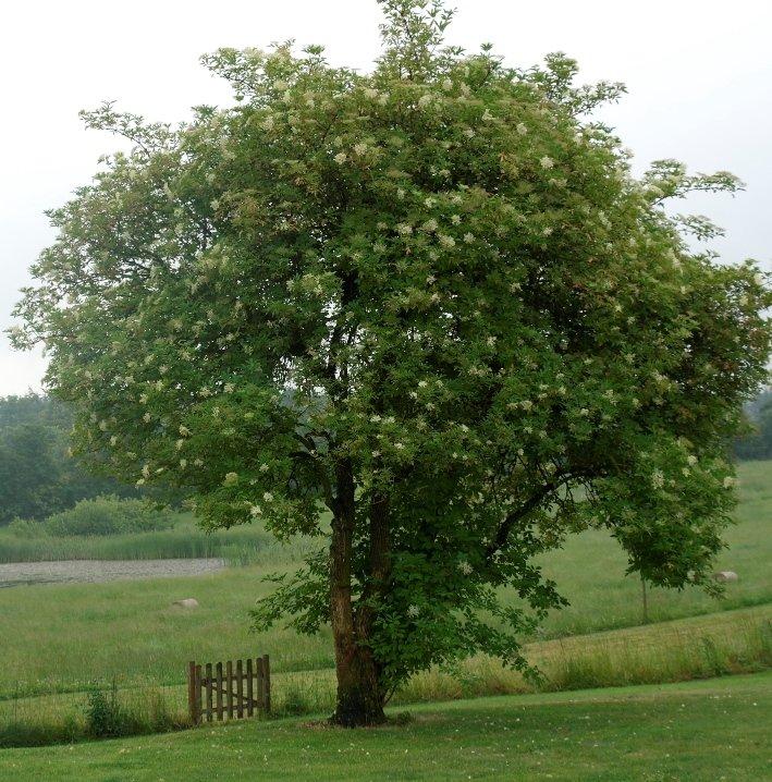 Hyldbærtræ - Sambucus nigra 'Haideek 17' i 5 l potte