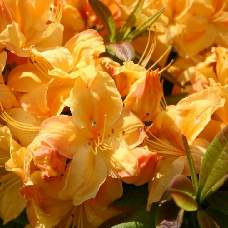 Rhododendron knaphill 'Golden Sunset'