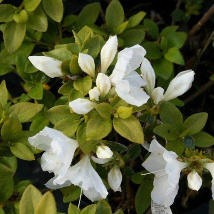 Rhododendron 'Panda' i 2 l potte