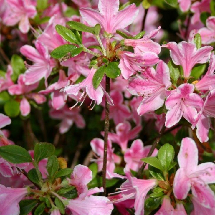 Rhododendron 'Kermesina Rosé' i 2 l potte