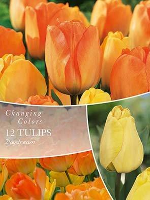 Changing Colors Tulipa Daydream 12 løg