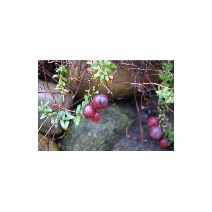Tranebærplanter - Vaccinium macrocarpon i 10 cm potte