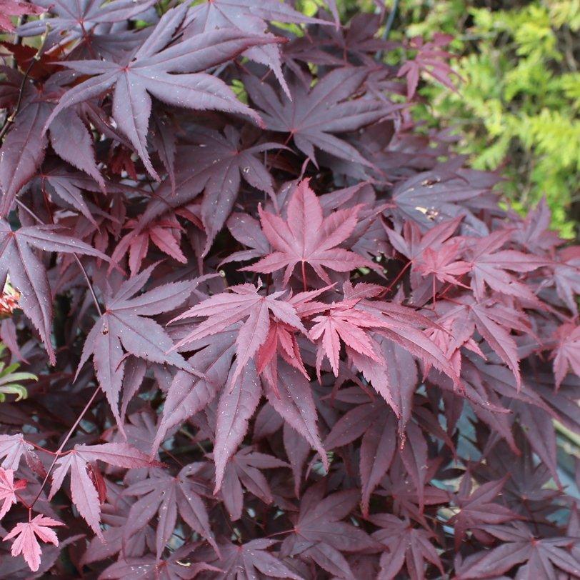 Japansk løn - Acer palmatum 'Bloodgood'