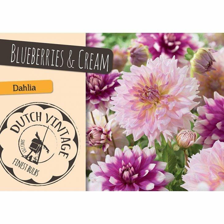 DAHLIA BLUEBERRIES & CREAM (Blomsterløg)