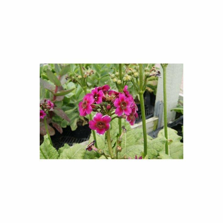 Etageprimula - Primula japonica 'Miller's Crimson'