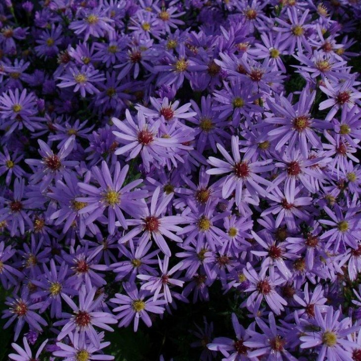Asters - Aster cordifolius 'Little Carlow' i 1 l potte