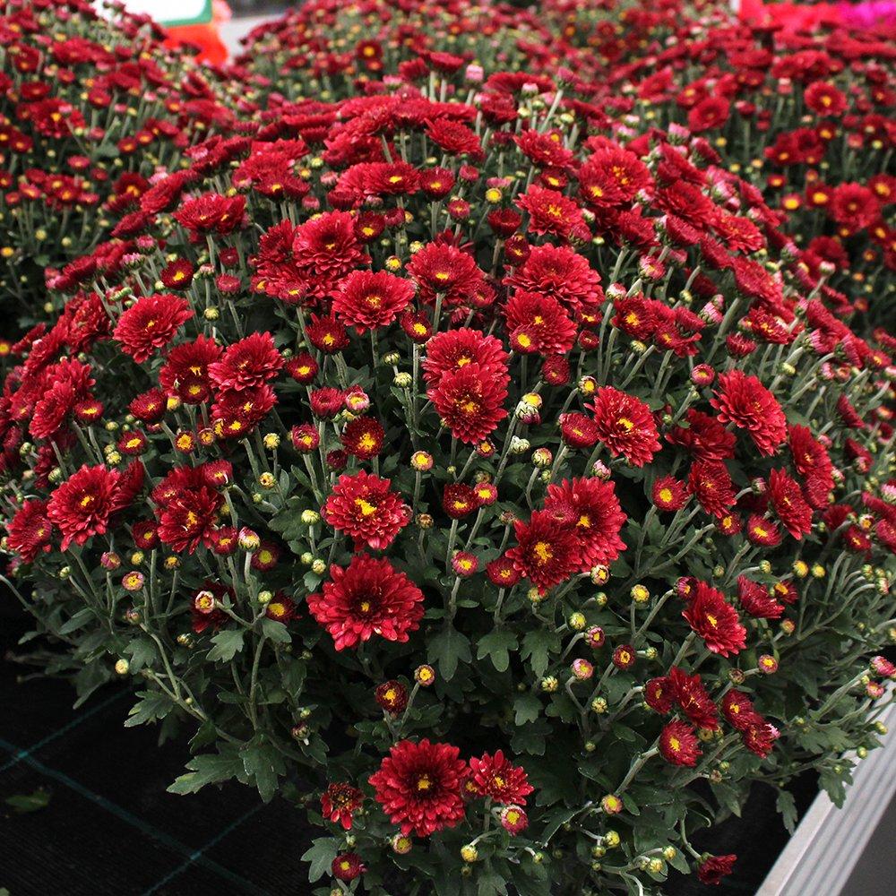 Efterårs Krysanthemum rød ca. 40 cm i dia.