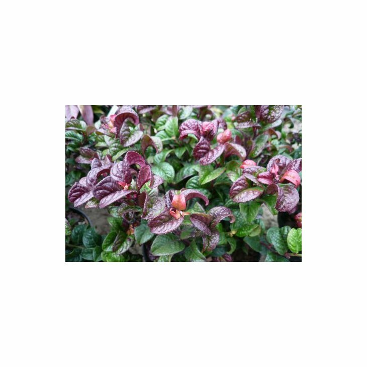 Leucothoë axi. 'Curly Red'