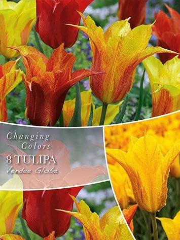 Changing Colors Tulipa Vendee Globe 8 løg