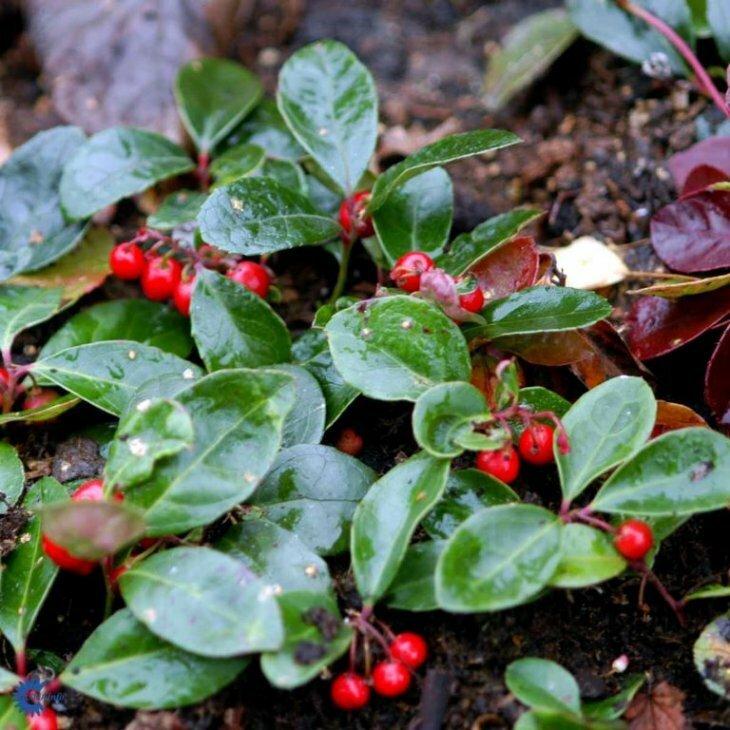 Bjergte - Gaultheria procumbens' i 10 cm potte
