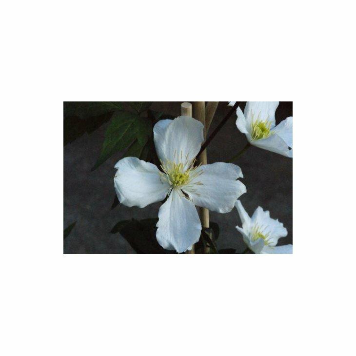 Bjergskovranke - Clematis montana 'Grandiflora' i 2 l potte