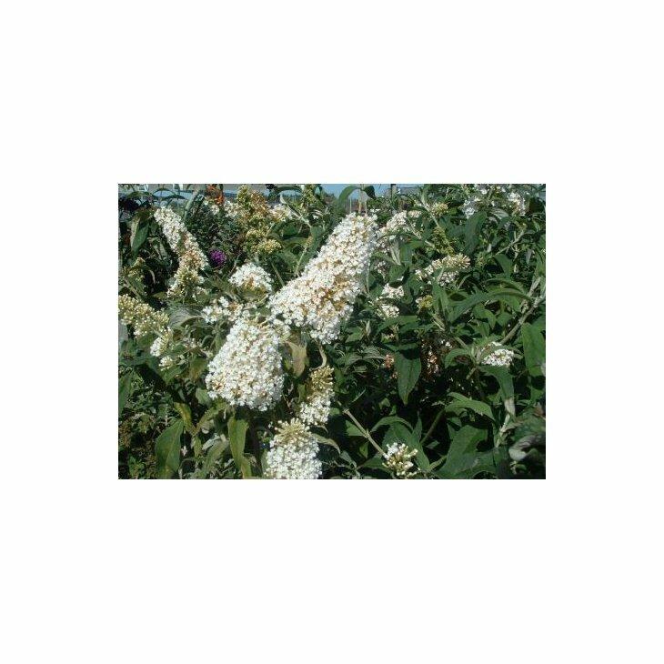 Sommerfuglebusk - Buddleia davidii 'White Profusion' i 5 L potte