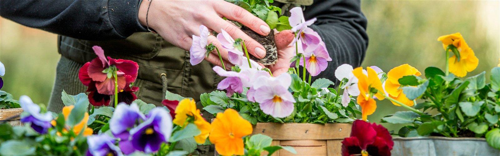 Plantning af stedmoderblomster