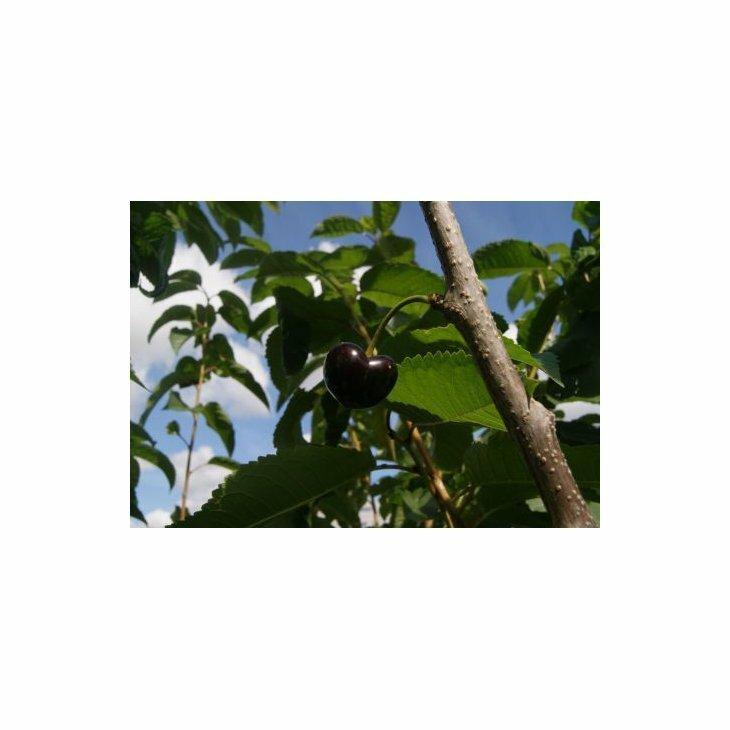 Sødkirsebærtræ Skeena