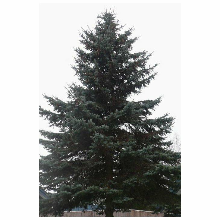 Blågran - Picea pungens 'Glauca' 80-100 cm