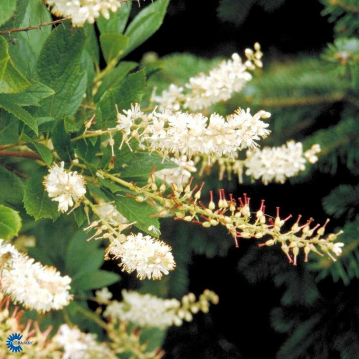 Konvalbusk - Clethra alnifolia 'Vanilla Spire' i 7,5 l potte